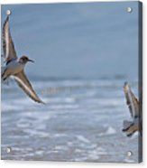 Flight Of The Sanderlings Acrylic Print