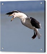 Flight Of The Screaming Gull . 7d4934 Acrylic Print