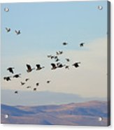 Flight Of The Waterfowl Acrylic Print