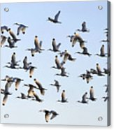 Flight Of The White Ibis Acrylic Print