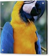 Flirtacious Macaw Acrylic Print