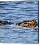 Floating Gator Acrylic Print