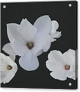 Floating Magnolias Dp20 Acrylic Print