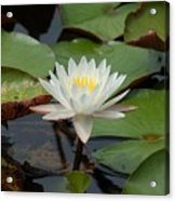 Floating Water Lilly Acrylic Print