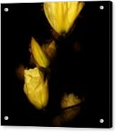 Floating Yellow Magnolia Blossoms Acrylic Print