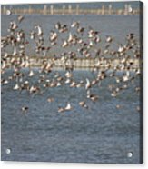 Flock Of Birds In Flight  Acrylic Print