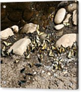 Flock Of Butterflies Panarama Acrylic Print