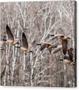 Flock Of Geese Acrylic Print