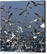 Flock Of Seagulls In The Sea And In Flight Acrylic Print