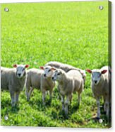 Flock Of Sheep Standing In A Field Waiting Acrylic Print