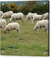 Flock Of Sheeps Acrylic Print