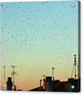 Flock Of Swallows Flying Over Rooftops At Sunset During Fall Acrylic Print