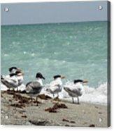 Flock Of Terns Gp Acrylic Print