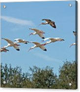 Flock Of White Ibises Acrylic Print