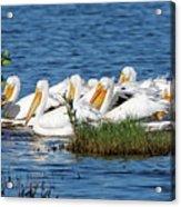 Flock Of White Pelicans Acrylic Print
