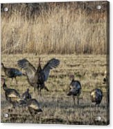 Flock Of Wild Turkeys Acrylic Print