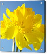 Floral Art Bright Yellow Daffodil Flowers Baslee Troutman Acrylic Print