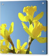 Floral Art Daffodil Flowers Spring Prints Blue Sky Baslee Troutman Acrylic Print