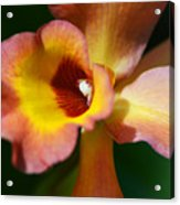 Floral Art - Intimate Orchid 3 - Sharon Cummings Acrylic Print