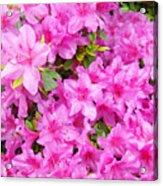 Floral Art Prints Pink Azalea Garden Landscape Baslee Troutman Acrylic Print