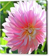 Floral Art Prints Pink Dahlias Sunlit Baslee Troutman Acrylic Print