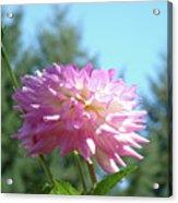 Floral Art Prints Pink White Dahlia Flower Pastel Baslee Troutman Acrylic Print