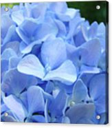 Floral Artwork Blue Hydrangea Flowers Baslee Troutman Acrylic Print