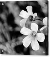 Floral Black And White Acrylic Print