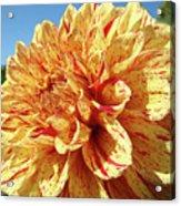 Floral Dahlia Flower Art Print Orange Red Dahlias Baslee Acrylic Print