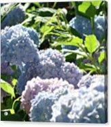Floral Garden Art Prints Blud Hydrangea Flowers Acrylic Print