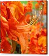 Floral Garden Art Prints Orange Rhododendrons Baslee Troutman Acrylic Print