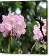 Floral Garden Pink Rhododendron Flowers Baslee Troutman Acrylic Print