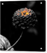 Floral October Zinnia End Of Season Sc 01 Acrylic Print