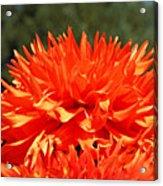 Floral Orange Dahlia Flowers Art Prints Acrylic Print