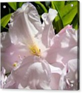 Floral Rhdodendron Flower Art Print Pink Sunlit Rhodies Baslee Acrylic Print