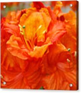 Floral Rhodies Art Prints Orange Rhododendrons Canvas Art Baslee Troutman Acrylic Print