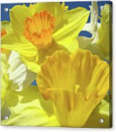Floral Spring Garden Art Prints Yellow Daffodils Flowers Baslee Troutman Acrylic Print