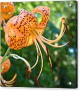 Floral Tiger Lily Flower Art Print Orange Lilies Baslee Troutman Acrylic Print