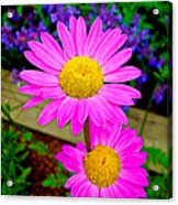 Florescent Daisies Acrylic Print
