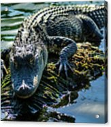 Florida Alligator Acrylic Print
