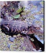 Florida Alligator Sunning Acrylic Print