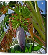 Florida Banana Flower And Fruit Acrylic Print