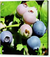 Florida - Blueberries - On The Bush Acrylic Print