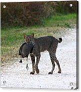 Florida Bobcat Catches An Evening Snack Acrylic Print by Barbara Bowen