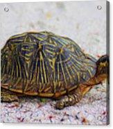 Florida Box Turtle Acrylic Print