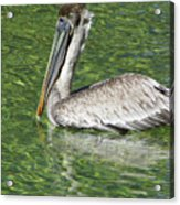 Florida Brown Pelican Acrylic Print
