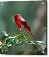 Florida Cardinal Acrylic Print