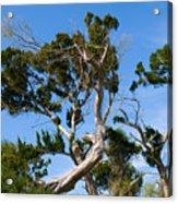 Florida Cedar Tree Acrylic Print
