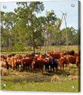 Florida Cracker Cows #1 Acrylic Print