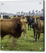 Florida Cracker Cows #2 Acrylic Print